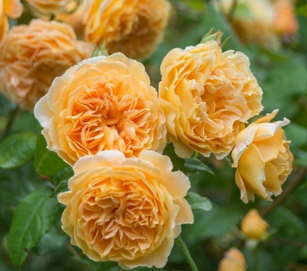 Top 5 Giống Hoa Hồng Leo Đẹp Nhất Để Trang Trí Vườn Nhà