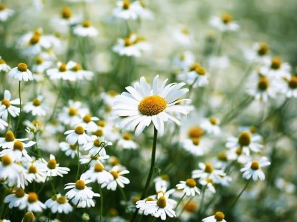 Những loài hoa mang ý nghĩa hy vọng
