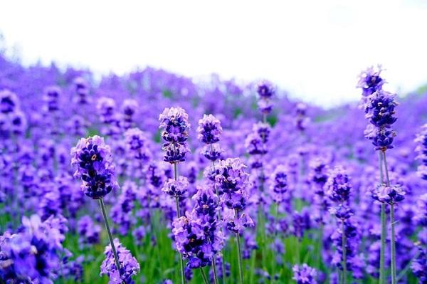 Ý Nghĩa Của Hoa Lavender Trong Tình Yêu Và Cuộc Sống
