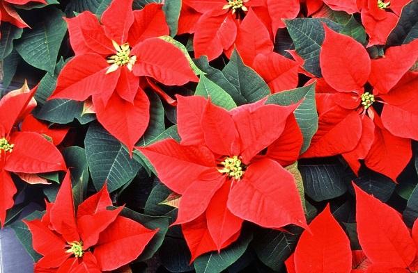 Loài hoa mang ý nghĩa may mắn