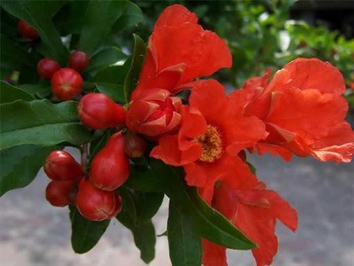 Ý nghĩa hoa thạch lựu – quốc hoa của Tây Ban Nha