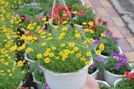 Những loại hoa dễ trồng ở ban công chịu nắng