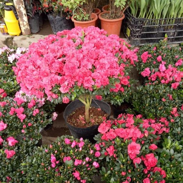 Hướng dẫn cách chăm sóc hoa đỗ quyên